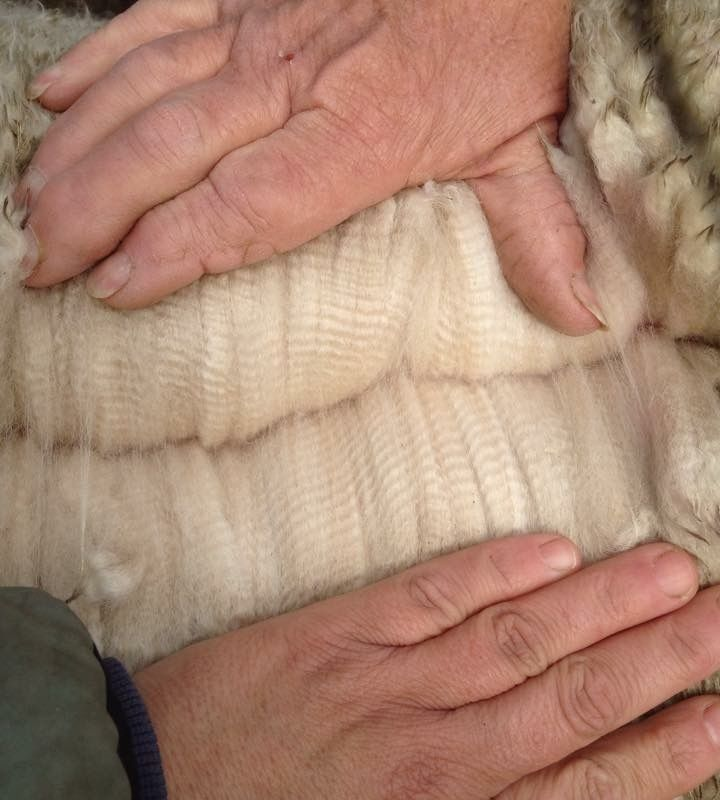 The value of a female alpaca with top notch genetics…