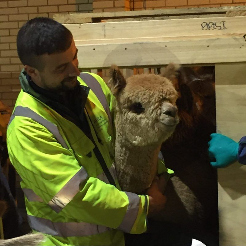Review of the Year at Beck Brow Alpacas