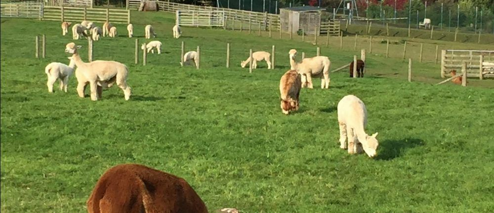The Ups and Downs at Beck Brow Alpacas