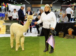 And the obvious delight when Bozedown Delphi takes overall Light Champion for Beck Brow Alpacas.