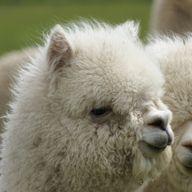 addelle the alpaca