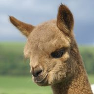 boxter the alpaca