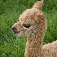 Dingo the alpaca