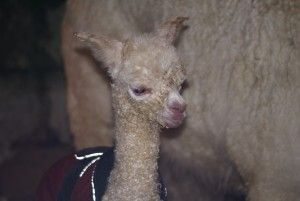 Beck Brow Explorer at 2 hours old. Already showing the fleece qualities that made him a champion.