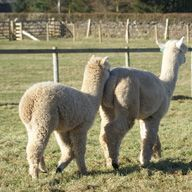 Gaga and Boots the Alpacas