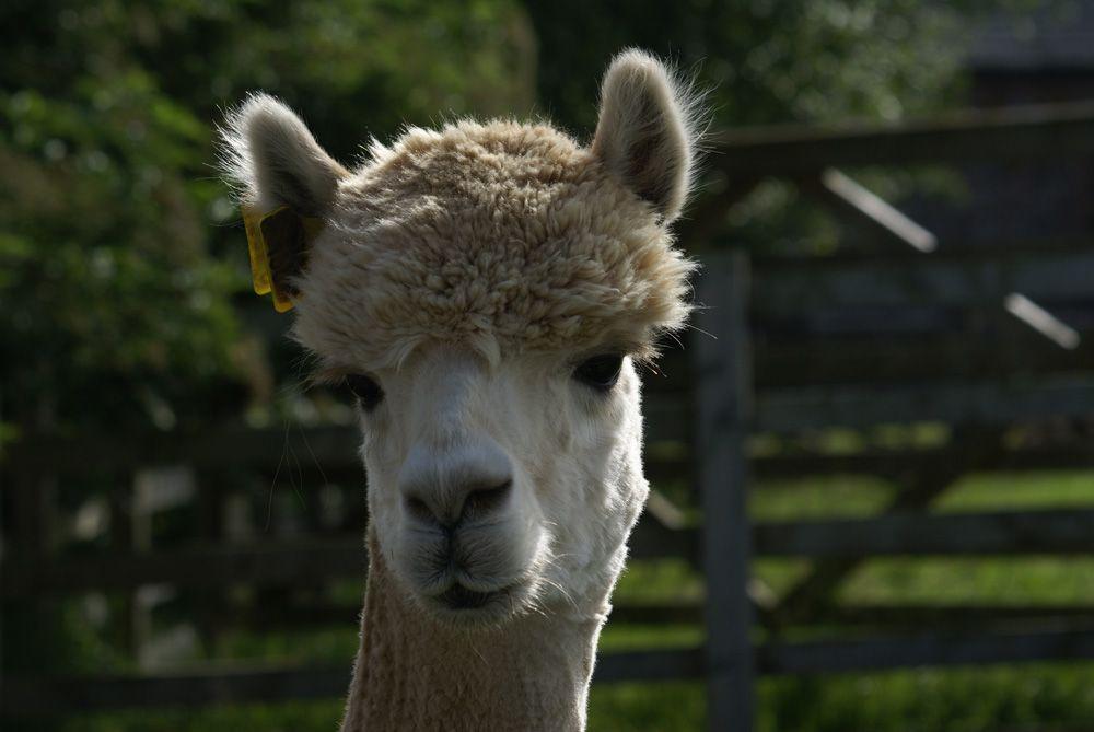 st patrick alpaca