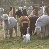astor with alpacas