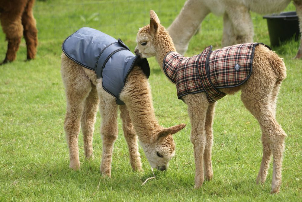 alpacas in coats