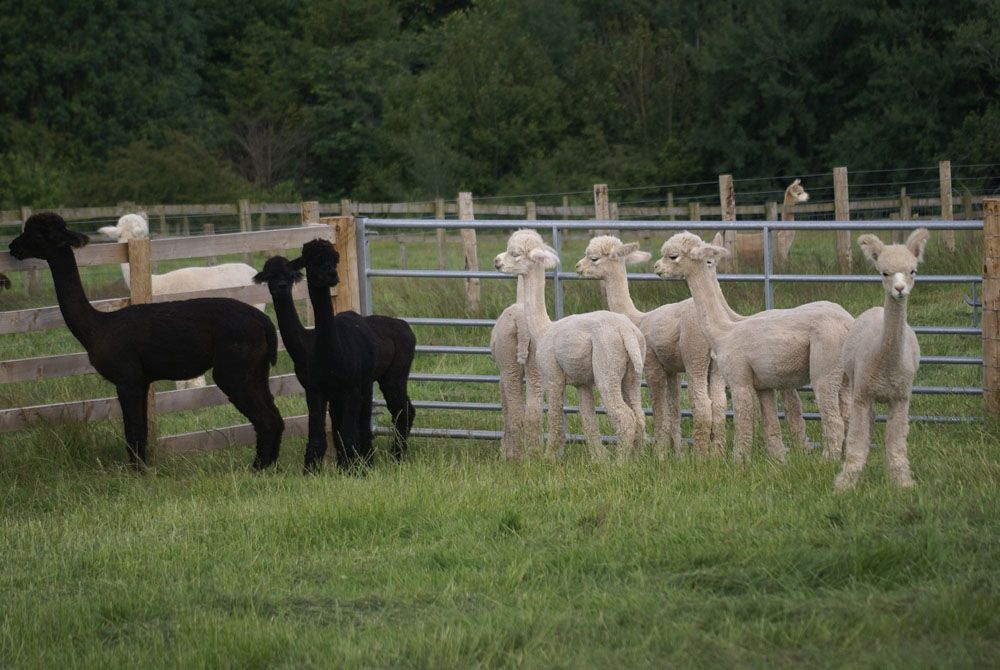 The male yearling group..now joined by Explorer