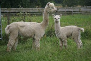 Grand Flowerdale Tor's Affirmation of Fallowfield with female cria (sire: Houghton King)