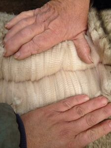 Fleece of the dam of our new stud.