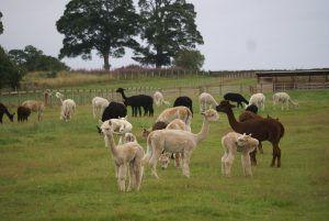 Beck Brow Alpacas