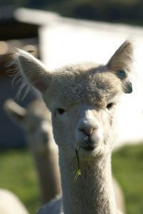 Stardust (sire: Spartacus) has grown into a beautiful female since here premature birth in quarantine in New Zealand