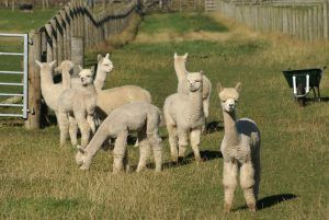 Beck Brow Game On (St Patrick) leading the gang of cria