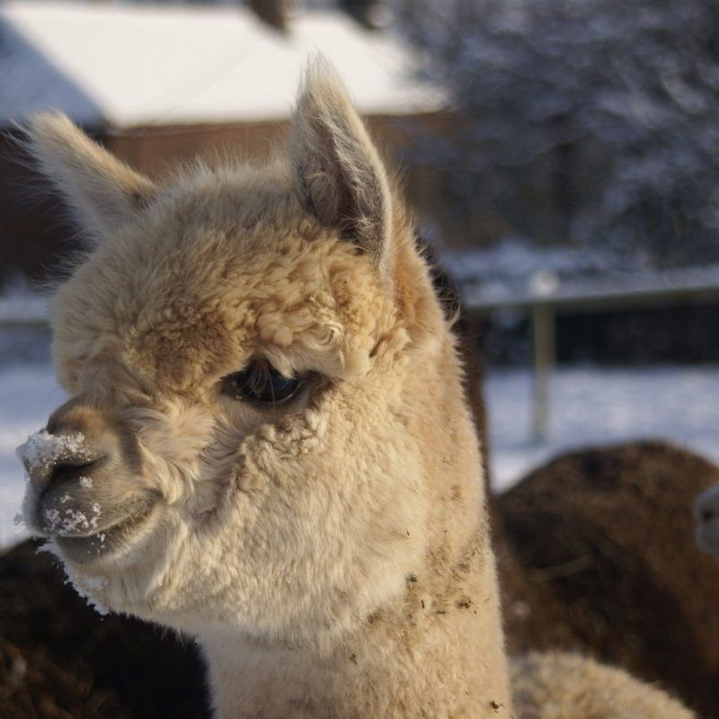 Alpacas…snow lovely!