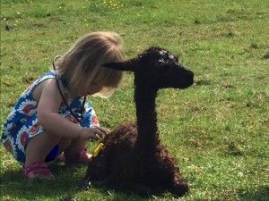 Granddaughter Hettie checking out the newborn cria