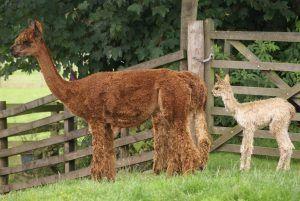 Our new Suri girls...thank you Lignum Alpacas.