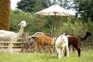 Beck Brow Alpacas garden party