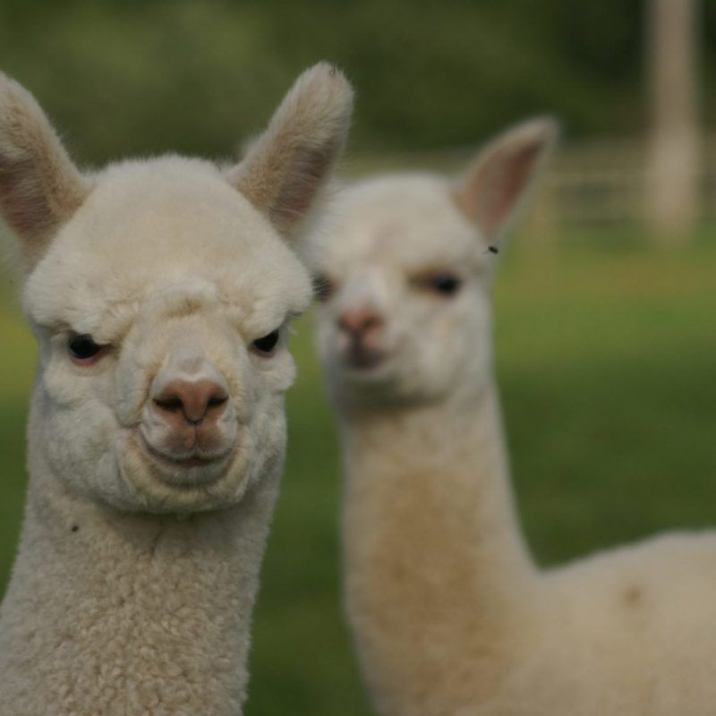 Beck Brow Alpacas By Numbers