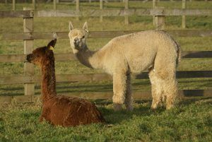 Bozedown Eclipse and Bozedown Delphi (standing) at Beck Brow Alpacas