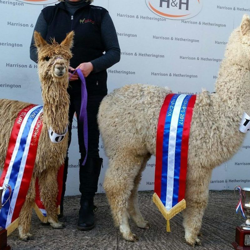 Alpaca Show Success for Beck Brow