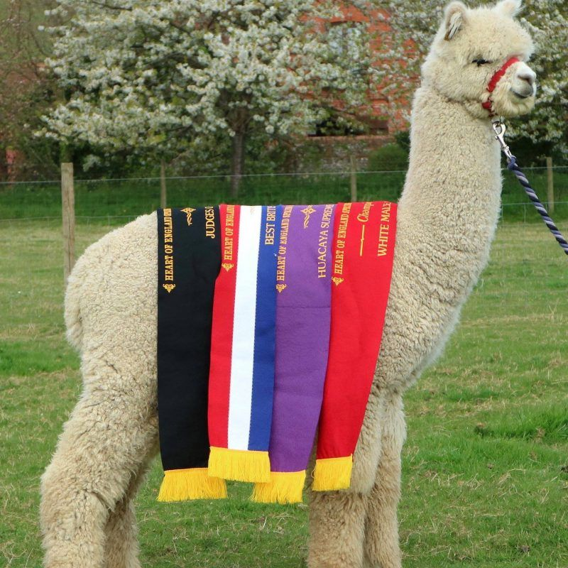 Beck Brow Alpacas – A New Stud Male