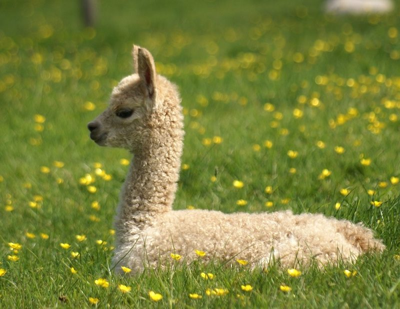 Joy. Upset. Harmony…a crazy week at Beck Brow Alpacas