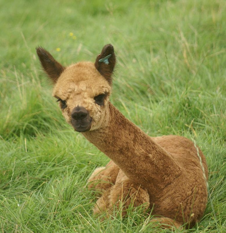 Birthing and Cria 2019 at Beck Brow Alpacas