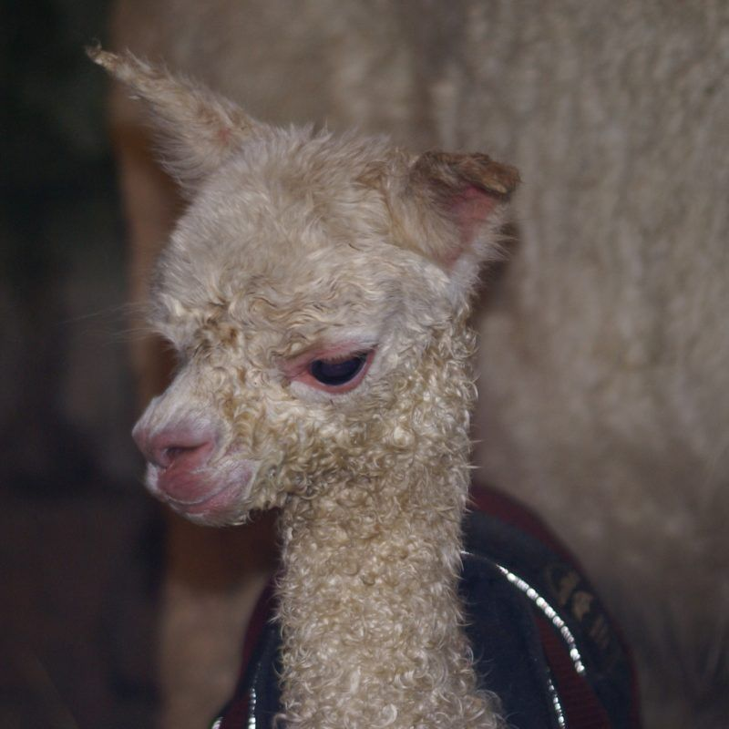 Beck Brow Alpacas – 10 years