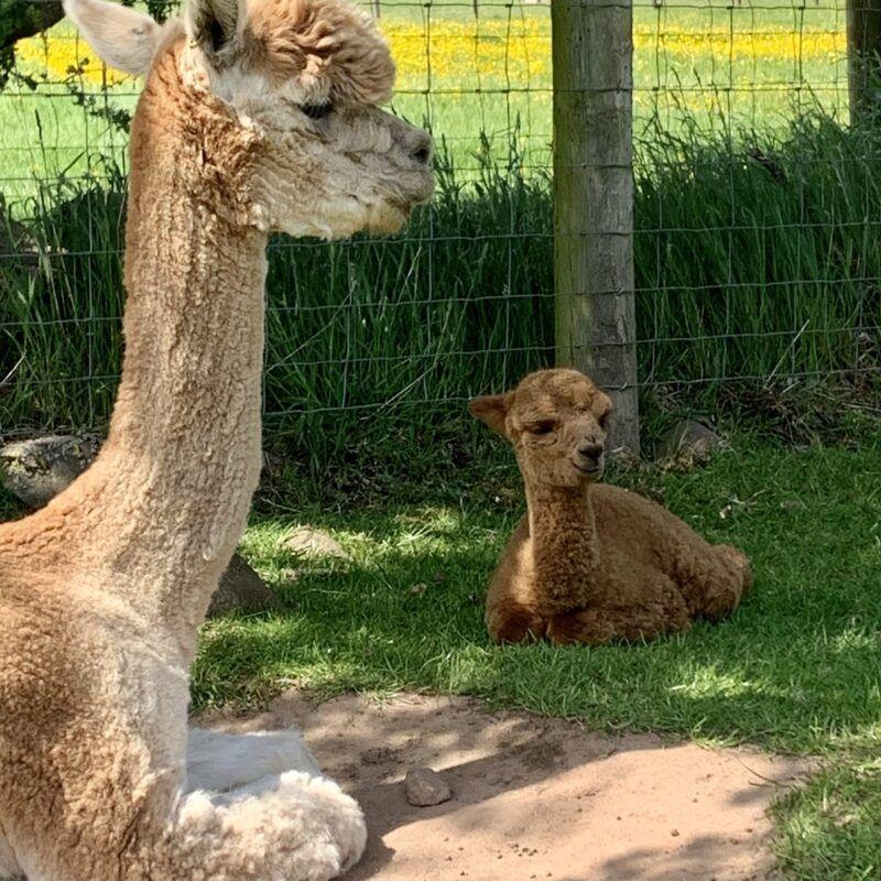 Birthing & Breeding at Beck Brow Alpacas