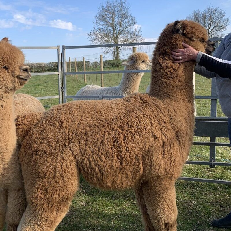 A New Stud Joins Beck Brow Alpacas